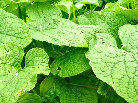 ゴボウの葉